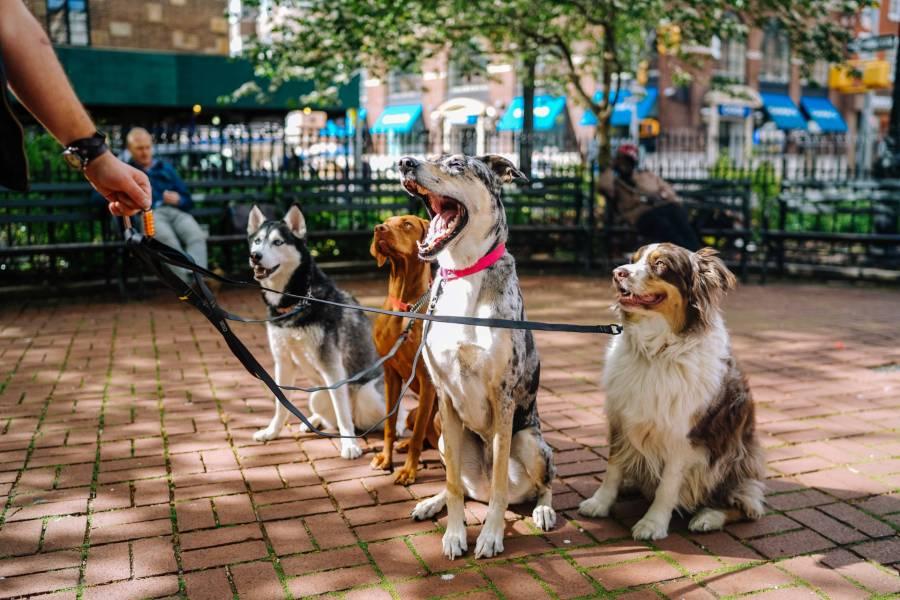 walking dogs on leash